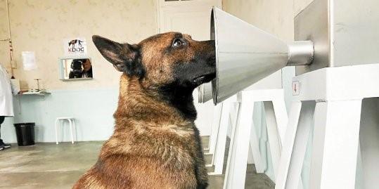 Cães em treinamento para detecção precoce de câncer de mama