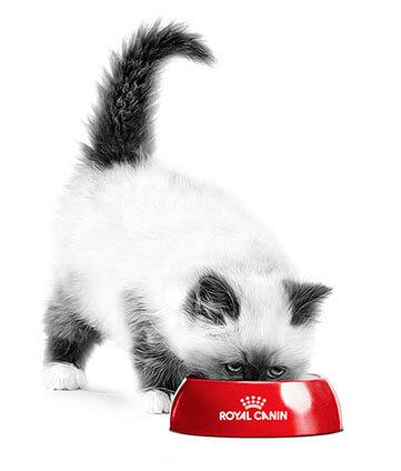 Um filhote de gato comendo