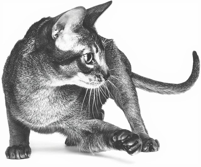 Abyssinian Adult black and white